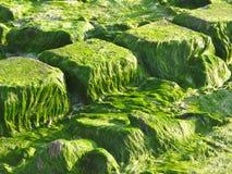 Зеленая водоросль на камнях Стоковое Изображение RF