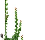 зеленая высокая изолированная белизна разрешения листьев Стоковые Изображения