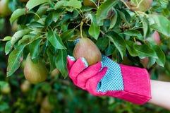 Зеленая груша на ветви дерева в руке фермера в перчатке Стоковая Фотография RF