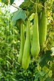 Зеленая губка тыквы губки vegetable в парнике Стоковые Изображения