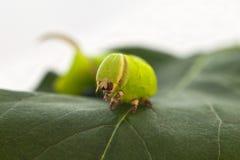 Зеленая гусеница ест лист Стоковые Фото