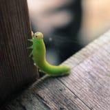Зеленая гусеница на деревянной предпосылке Стоковые Изображения RF