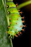 Зеленая гусеница на заводах лист Стоковые Изображения RF