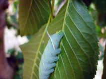 Зеленая гусеница на лист вишни Стоковые Изображения RF