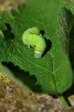 Зеленая гусеница Стоковое Изображение