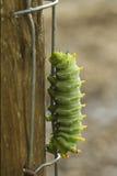 Зеленая гусеница, cecropia Hyalophora Стоковые Фотографии RF