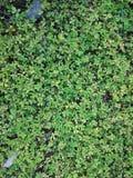 Зеленая естественная предпосылка малых листьев Лето или spr растительности Стоковые Фото