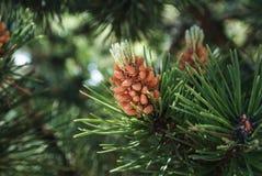 Зеленая естественная предпосылка с взглядом конца-вверх ветви сосны цветя на лесе на солнечный день, область Калининграда Стоковое Изображение RF