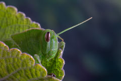 Зеленая деталь саранчи Стоковая Фотография RF