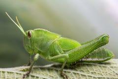 Зеленая деталь саранчи Стоковые Изображения