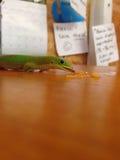 Зеленая еда гекконовых Стоковая Фотография RF