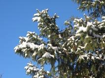 Зеленая ель в снеге Стоковые Фотографии RF
