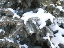 Зеленая ель в снеге Стоковые Изображения RF