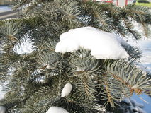 Зеленая ель в снеге Стоковая Фотография