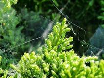 Зеленая ель с сетью паука Стоковые Изображения RF
