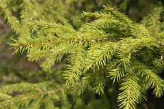 Зеленая ель Стоковые Изображения RF
