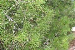 Зеленая ель Стоковое Изображение RF