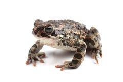 Зеленая жаба (viridis Bufo) изолированная на белизне Стоковые Фото
