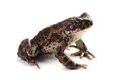 Зеленая жаба (viridis Bufo) изолированная на белизне Стоковая Фотография RF