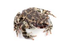 Зеленая жаба (viridis Bufo) изолированная на белизне Стоковые Изображения RF