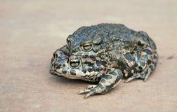 Зеленая жаба (viridis Bufo) Стоковое Изображение RF