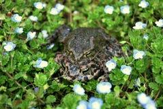 Зеленая жаба (viridis Bufo) Стоковая Фотография RF