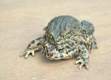 Зеленая жаба (viridis Bufo) Стоковое Изображение