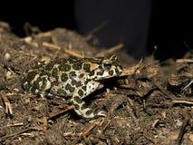Зеленая жаба - viridis Bufo Стоковая Фотография