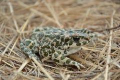 Зеленая жаба & x28; Viridis& x29 Bufo; Стоковые Изображения RF