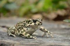 Зеленая жаба & x28; Viridis& x29 Bufo; Стоковое Изображение RF