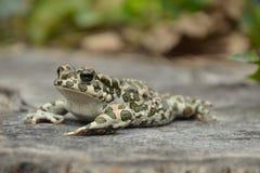 Зеленая жаба & x28; Viridis& x29 Bufo; Стоковая Фотография
