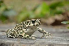 Зеленая жаба & x28; Viridis& x29 Bufo; Стоковое Изображение
