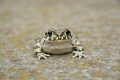 Зеленая жаба & x28; Viridis& x29 Bufo; Стоковое фото RF