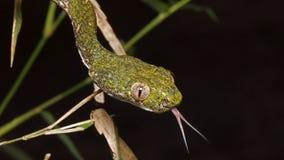 Зеленая змейка глаз кота Стоковая Фотография