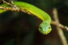 Зеленая змейка змейки/Flatbread лозы (fulgidus Oxybelis) увиденная в Monteverde, Коста-Рика стоковое фото