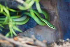 Зеленая змейка Стоковые Изображения RF