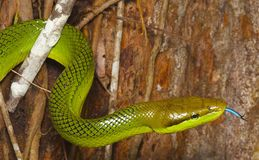 зеленая змейка Стоковое Изображение RF