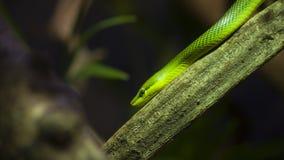 зеленая змейка Стоковая Фотография
