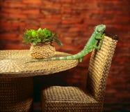 Зеленая игуана вползая на стуле Стоковые Фото