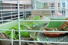 Зеленая игуана заключенная в турьму в клетке Стоковые Фото