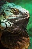 Зеленая игуана - игуана игуаны, детальный животный портрет Стоковые Фотографии RF