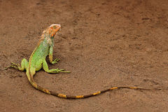 Зеленая игуана, игуана игуаны, портрет оранжевой и зеленой большой ящерицы в темном ом-зелен животном леса в реке h природы тропо стоковые фотографии rf