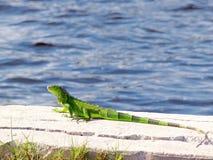 Зеленая игуана на стороне воды стоковое изображение rf