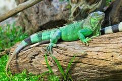 Зеленая игуана Стоковое фото RF