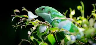 зеленая игуана Стоковое Фото