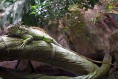 Зеленая игуана & x28; Iguana& x29 игуаны; Стоковые Фото