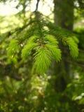 Зеленая игла выходит весной Стоковые Изображения