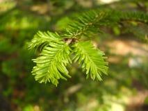 Зеленая игла выходит весной Стоковые Фотографии RF