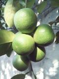 зеленая известка Стоковое фото RF