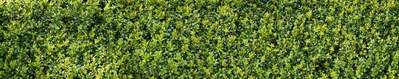 Зеленая изгородь куста buxux Стоковые Изображения RF